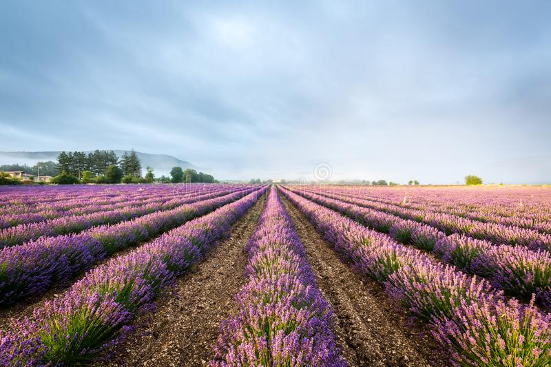 Lavender field in Provence, France royalty free stock images