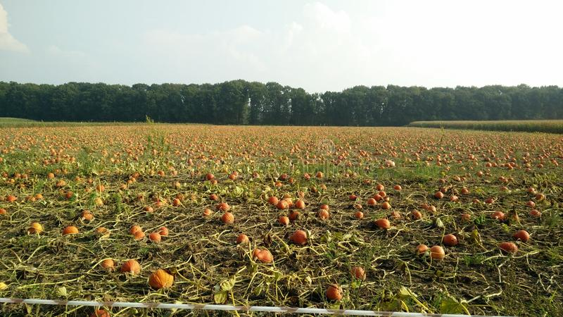 Field with pumpkins royalty free stock photo