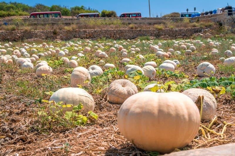Field of pumpkin. In Malta royalty free stock photos