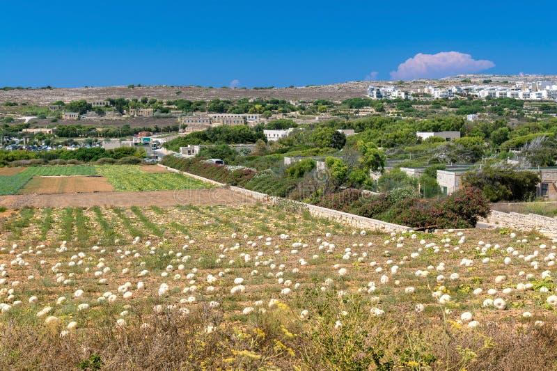 Field of pumpkin. In Malta stock image