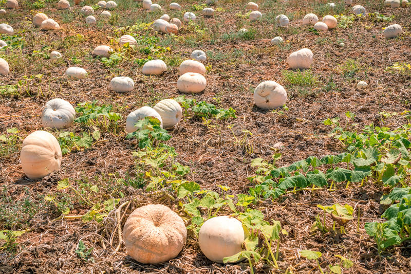 Field of pumpkin. In Malta royalty free stock photography