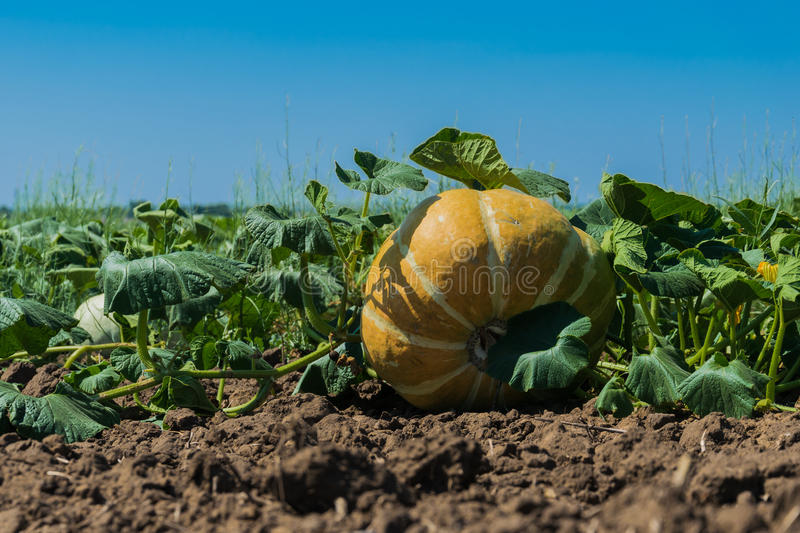 Field with pumpkins under the sun royalty free stock photography