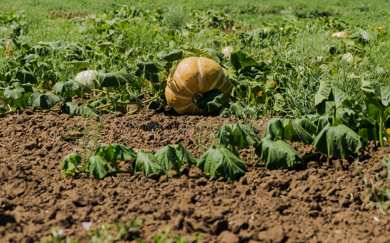 Field with pumpkins under the sun stock photography