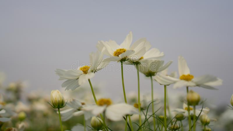 Field of pure white petals of Cosmos flowers blossom on green leaves, small bud under blue sky in a park royalty free stock images