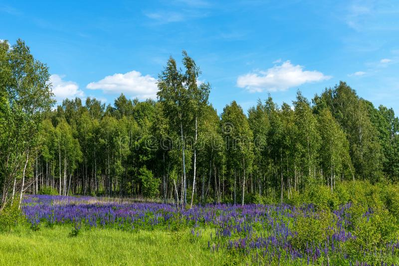 Field of purple flowering lupines. Beautiful rural landscape with birches and forest in summer. Field of purple flowering lupines. Beautiful rural landscape stock images