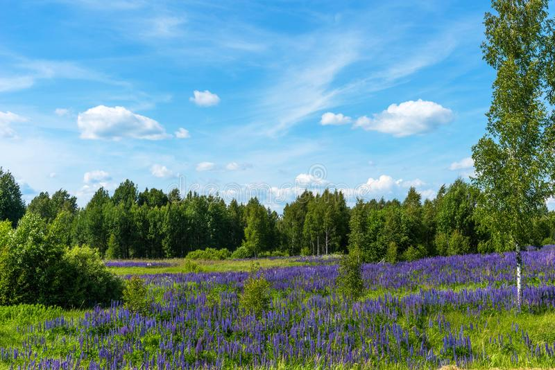 Field of purple flowering lupines. Beautiful rural landscape with birches and forest in summer. Field of purple flowering lupines. Beautiful rural landscape royalty free stock photos