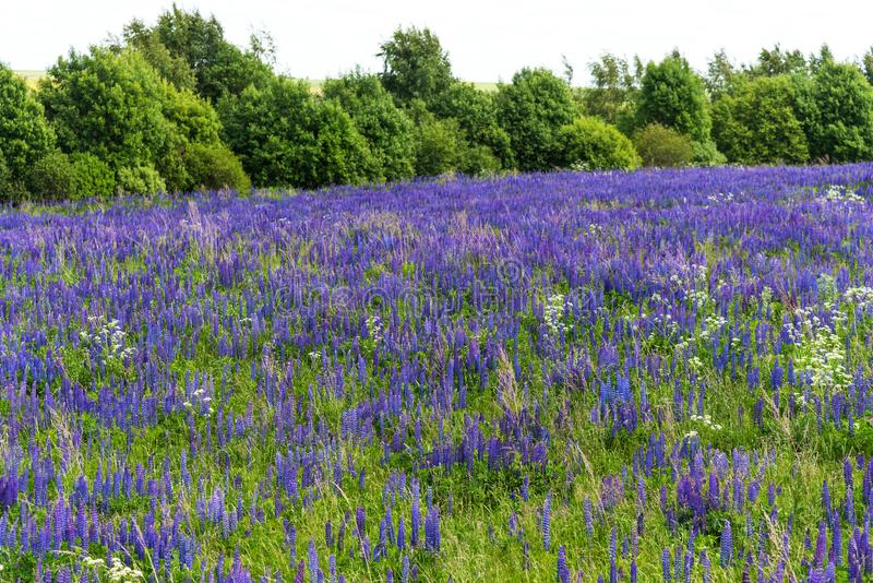Field of purple flowering lupines. Beautiful rural landscape with birches and forest in summer. Field of purple flowering lupines. Beautiful rural landscape royalty free stock images