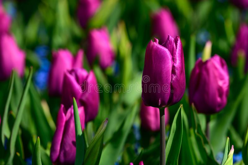 Field of purple hyacinth in Holland , spring time colourful flowers stock images