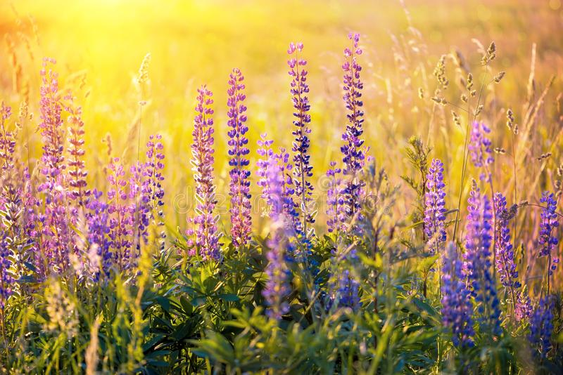 Field with purple lupine flowers with sunset rays. Backlight. Soft focus. Summer nature background.  royalty free stock image