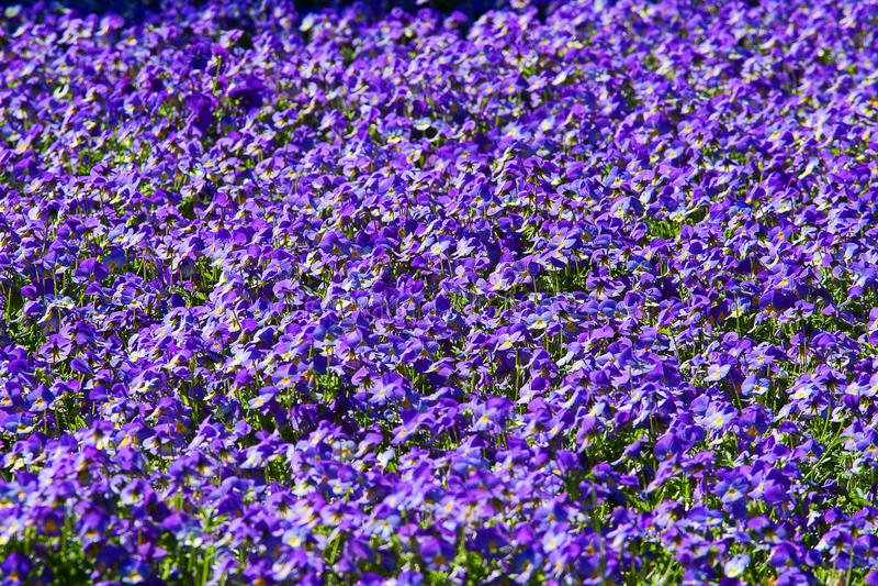 Field of purple pansies royalty free stock image