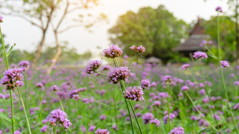 Field of purple petite petals of Vervian flower blossom on green leaves under sky, know as Purpletop vervian or verbena royalty free stock photos