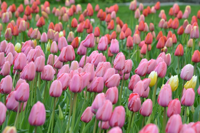Field of purple and red tulips stock photography