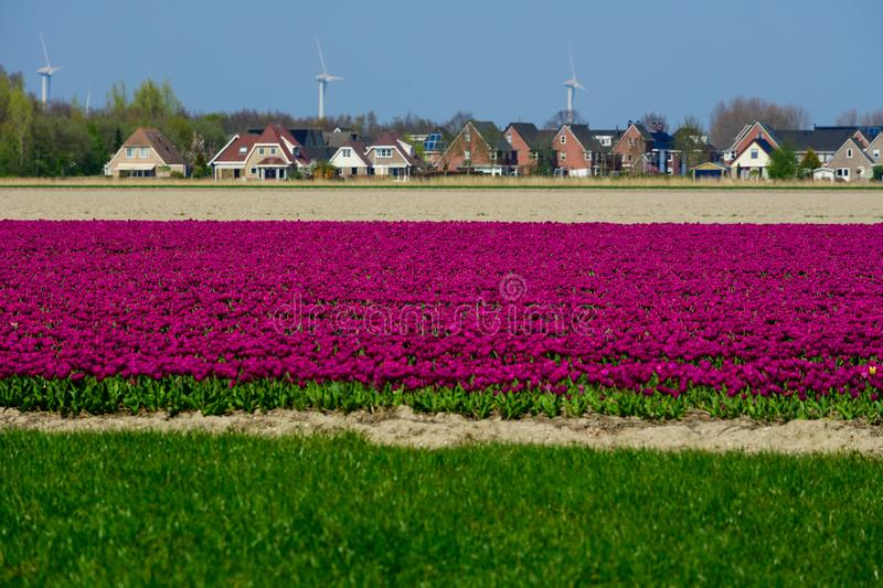 Field of purple tulips in Holland , spring time colourful flowers stock images