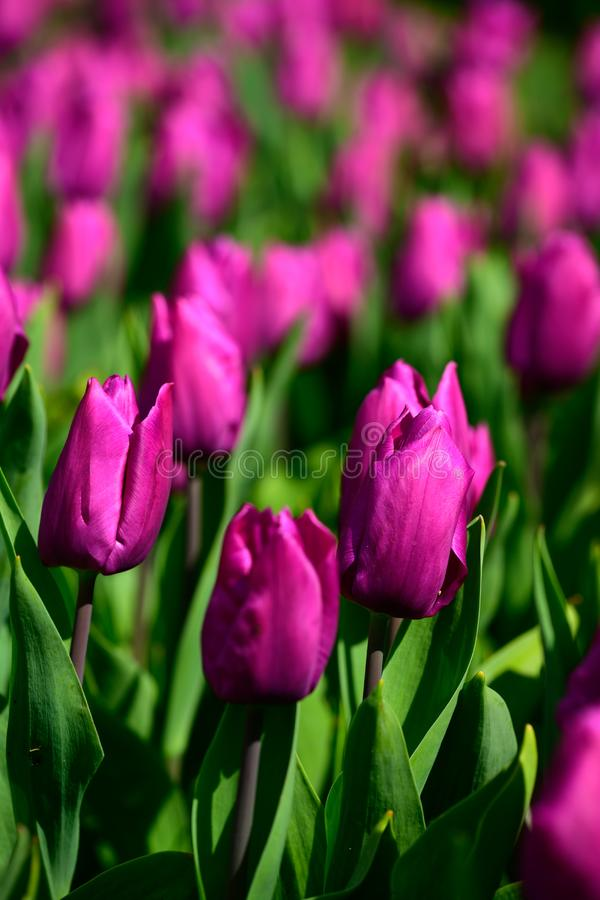 Field of purple tulips in Holland , spring time colourful flowers royalty free stock images