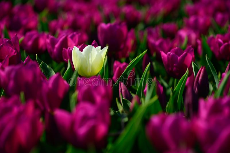 Field of purple tulips in Holland , spring time colourful flowers stock photo