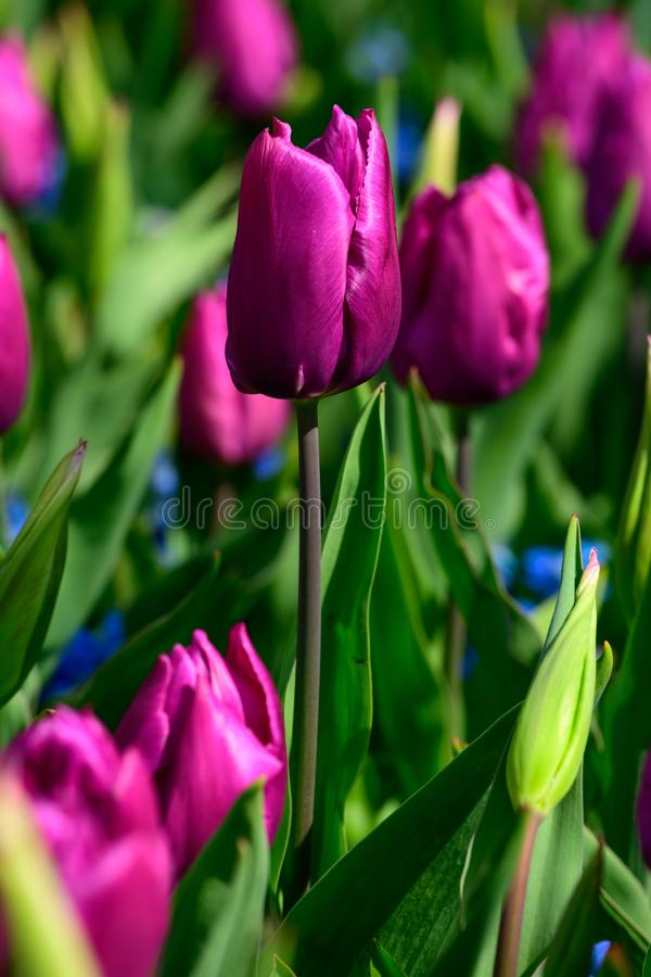 Field of purple tulips in Holland , spring time colourful flowers stock photos