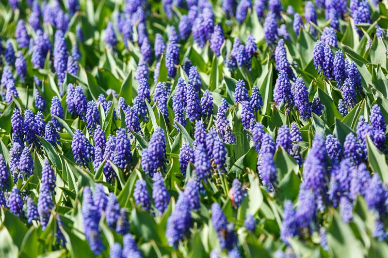 Field of purple violet tulips with selective focus. Spring, floral background. Garden with flowers. Natural blooming royalty free stock photo