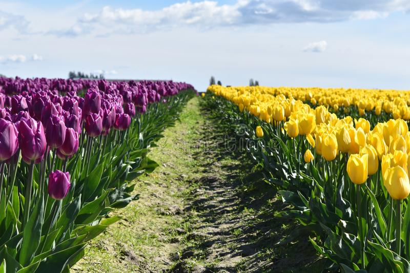 Field of purple and yellow tulips in Washington state. Blue cloudy sky royalty free stock photos