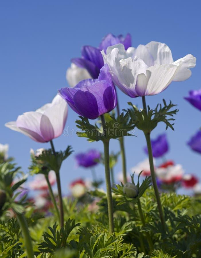 field purpur white för blomman fotografering för bildbyråer