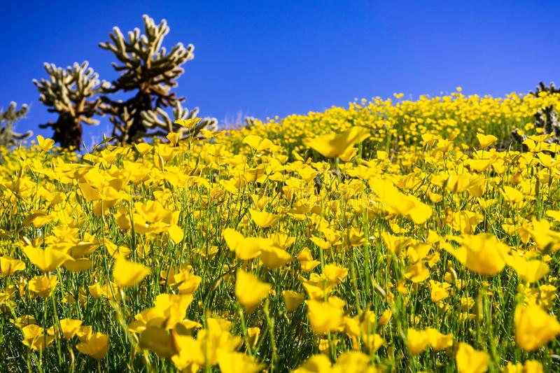 Field of Pygmy poppies Eschscholzia minutiflora growing during a super bloom in Anza Borrego Desert State Park, south California royalty free stock images