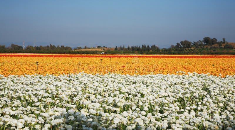 Download Field Of Ranunculus Stock Image - Image: 18764781