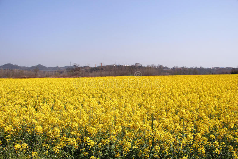 Field of flower royalty free stock photography