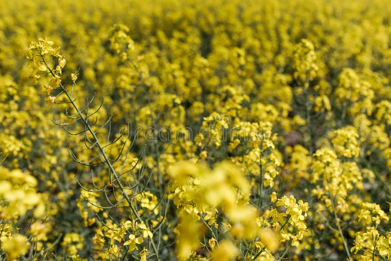 Field of rapeseed with beautiful cloud - plant for green energy. Detail of flowering rapeseed canola or colza in latin Brassica Napus, plant for green energy and royalty free stock photography