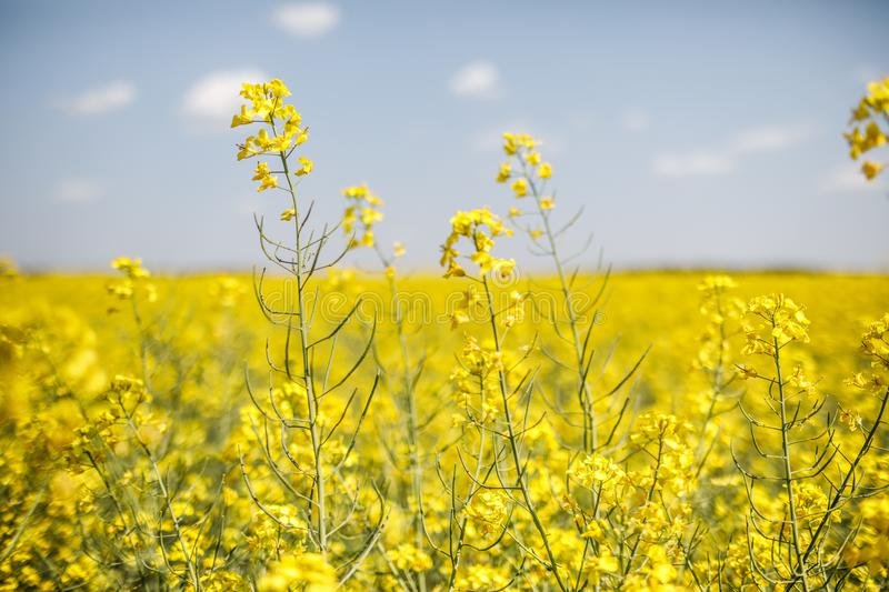 Field of rapeseed with beautiful cloud - plant for green energy. Detail of flowering rapeseed canola or colza in latin Brassica Napus, plant for green energy and stock photos