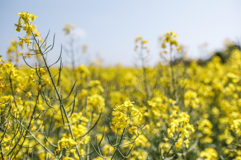 Field of rapeseed with beautiful cloud - plant for green energy. Detail of flowering rapeseed canola or colza in latin Brassica Napus, plant for green energy and stock images