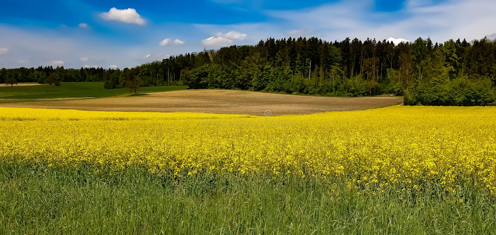 Field of rapeseed royalty free stock photos