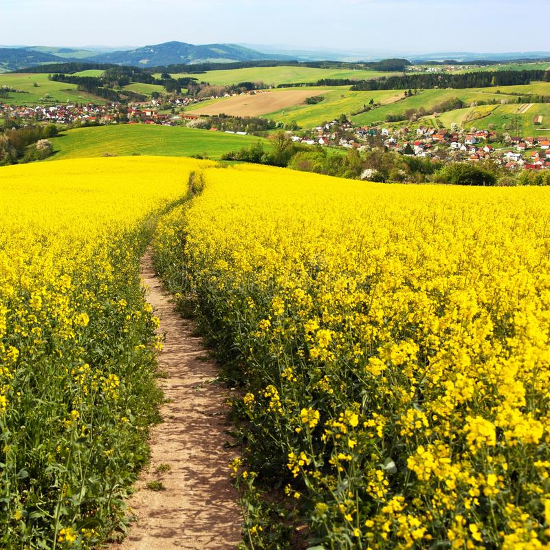 Field of rapeseed, canola or colza. In Latin Brassica napus with path way, seed is plant for green energy and green industry, springtime golden flowering field royalty free stock photo