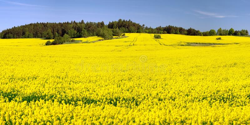 Field of rapeseed, canola or colza. In Latin Brassica Napus, seed is plant for green energy and green industry, springtime golden flowering field, panoramic royalty free stock photo