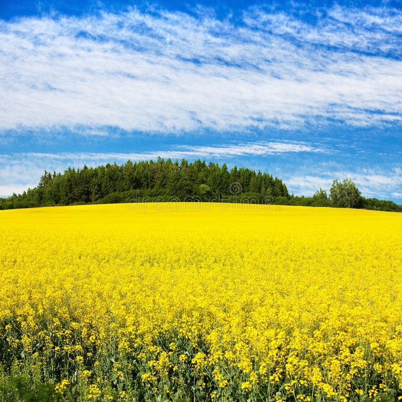 Field of rapeseed, canola or colza. In Latin Brassica Napus with beautiful cloudy sky, seed is plant for green energy and green industry, springtime golden stock photo