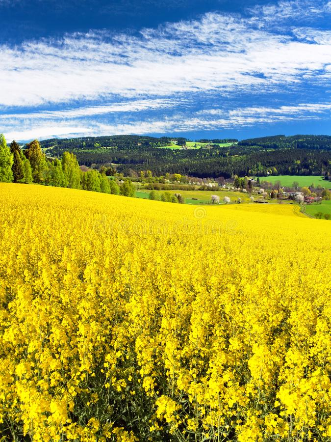 Field of rapeseed, canola or colza. In Latin Brassica Napus with beautiful cloudy sky, seed is plant for green energy and green industry, springtime golden royalty free stock image