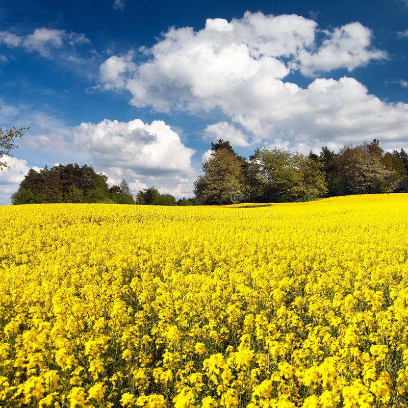 Field of rapeseed, canola or colza. In Latin Brassica napus with beautiful cloudy sky, seed is plant for green energy and green industry, springtime golden royalty free stock photography