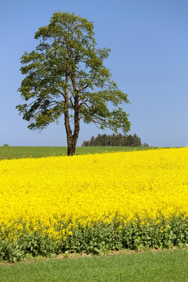Field of rapeseed, canola or colza and tree. Field of rapeseed, canola or colza, in latin Brassica Napus and lime tree, seed is plant for green energy and green royalty free stock photography