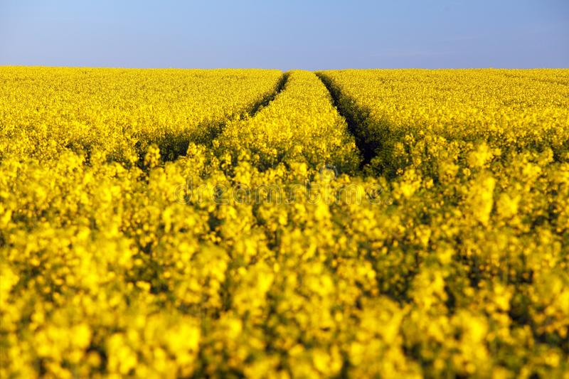 Field of rapeseed, canola or colza. In latin brassica napus with rural road and clear sky - seed is plant for green energy and green industry, golden royalty free stock photography