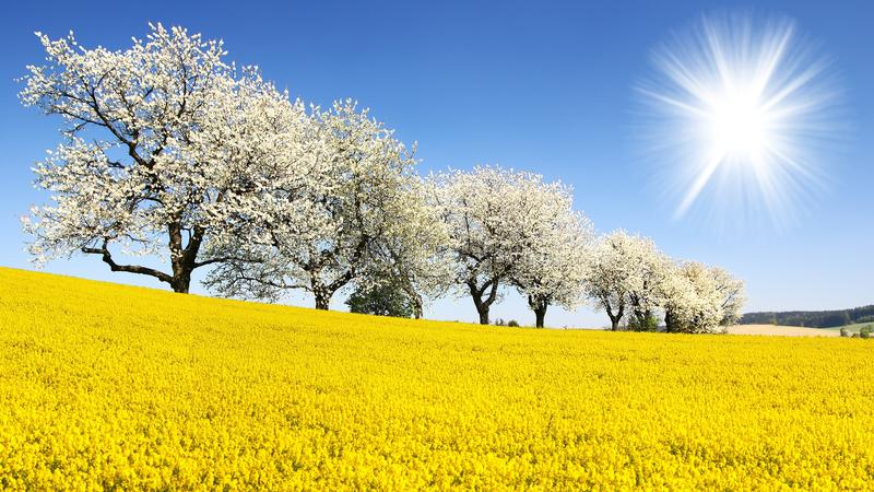 Field of rapeseed, canola or colza. In latin Brassica Napus, sun and alley of flowering cherry trees - seed is plant for green energy and oil industry - spring royalty free stock image