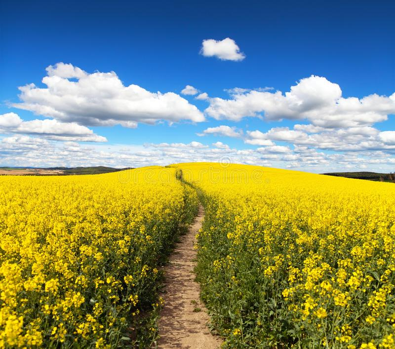 Field of rapeseed, canola or colza with path way. Field of rapeseed, canola or colza in Latin Brassica napus with path way and beautiful clouds on sky, seed is stock photography