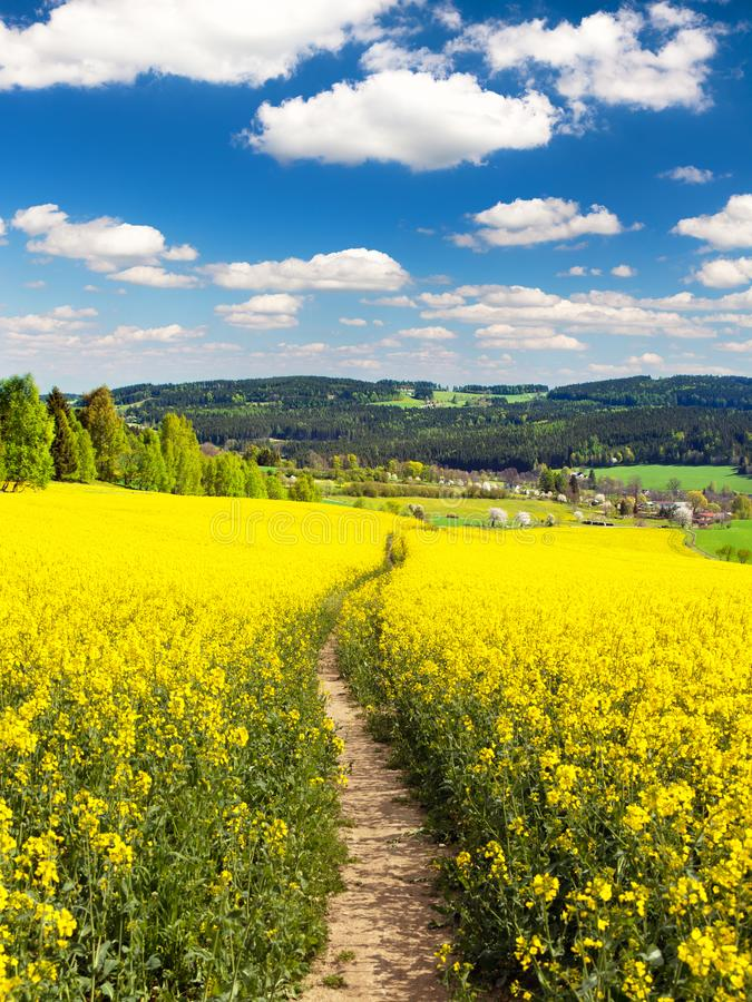 Field of rapeseed, canola or colza with path way. Field of rapeseed, canola or colza in Latin Brassica napus with path way and beautiful clouds on sky, seed is royalty free stock images