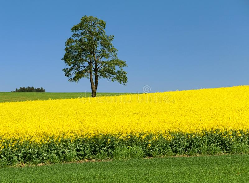 Field of rapeseed, canola or colza and tree. Field of rapeseed, canola or colza, in latin Brassica Napus and lime tree, seed is plant for green energy and green stock images