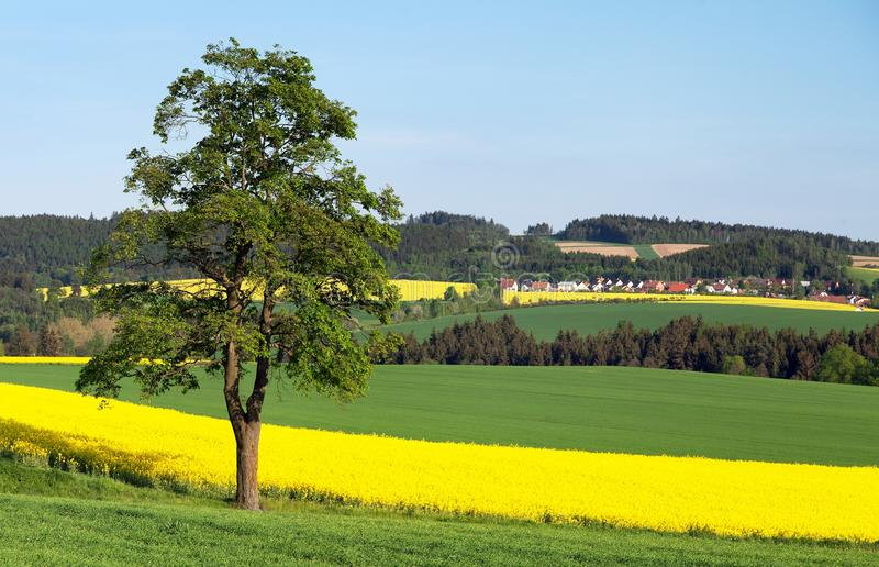 Field of rapeseed, canola or colza and tree. Field of rapeseed, canola or colza, in latin Brassica Napus and lime tree, seed is plant for green energy and green royalty free stock photo