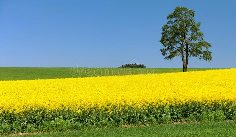 Field of rapeseed, canola or colza and tree. Field of rapeseed, canola or colza, in latin Brassica Napus and lime tree, seed is plant for green energy and green stock photos