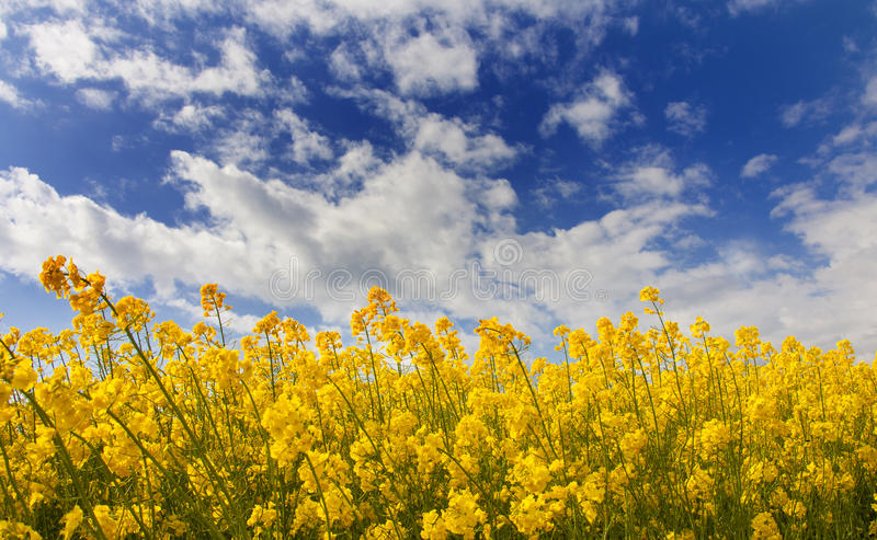 Field of rapeseed. With cloud stock image