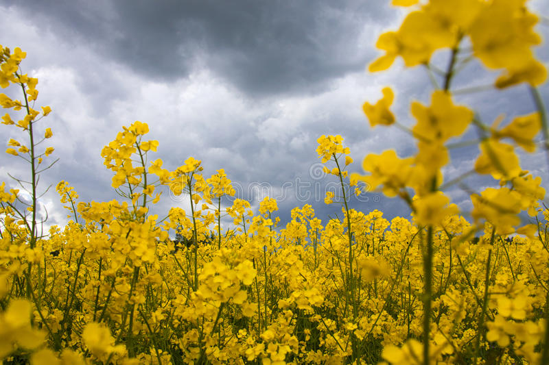 Field of rapeseed. With cloud royalty free stock image