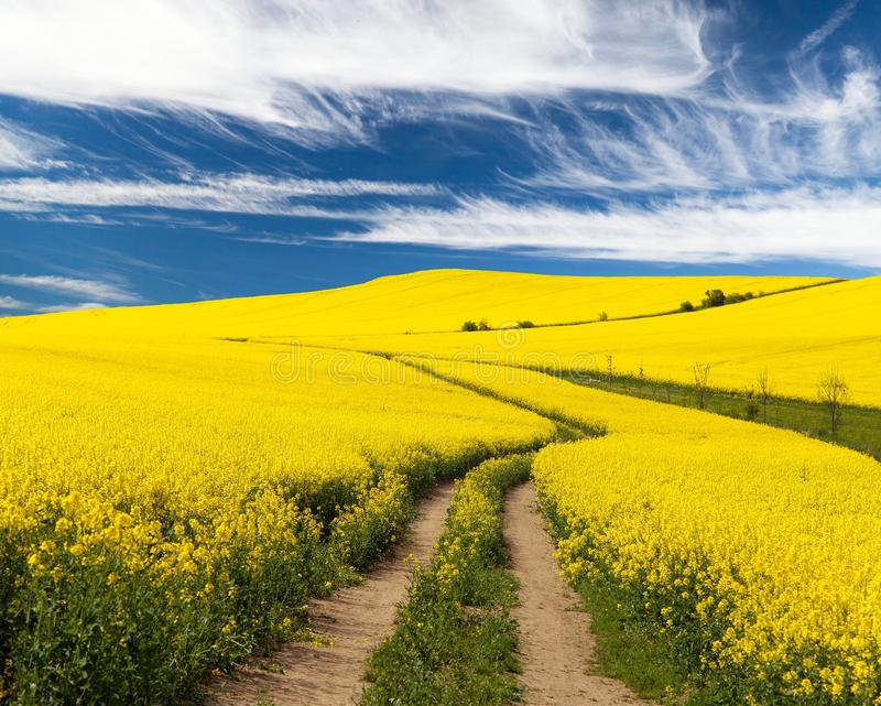 Field of rapeseed with rural road and beautiful cloud. (brassica napus) - plant for green energy and green industry royalty free stock photo