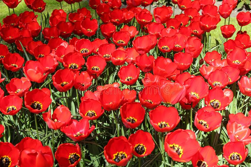 Field of red beautiful tulips close up. Spring time in Keukenhof flower garden, Netherlands stock photography