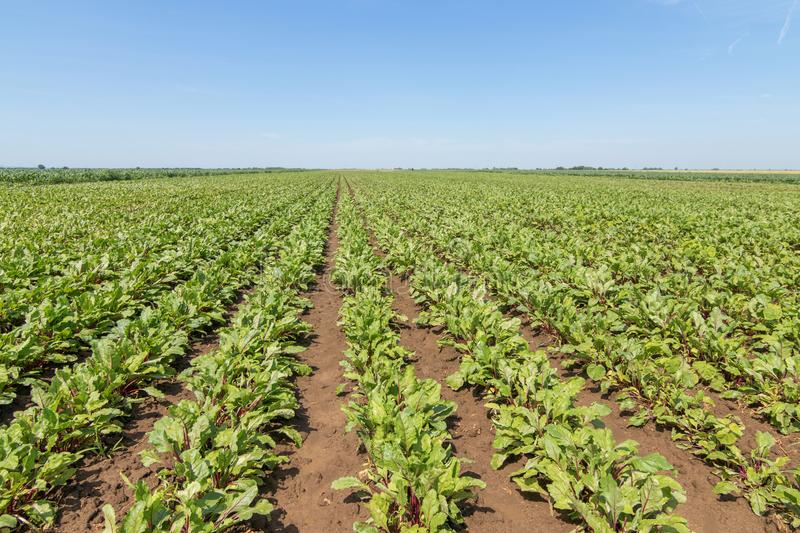 Field of the red beetroot. Young green beetroot plants. royalty free stock photos