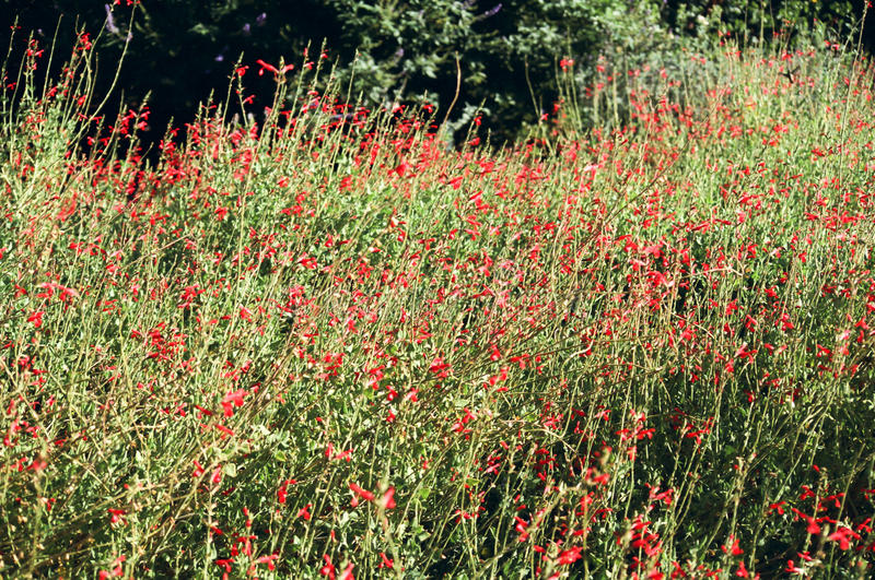 Field of Red Flower Blooms. Field of tiny wild red flower blooms stock photo