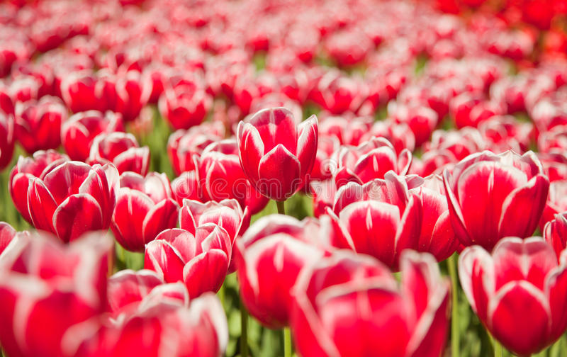 Field red flowers royalty free stock photos
